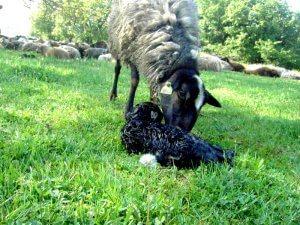Окот овец