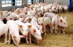 Молодняк свиней для разведения