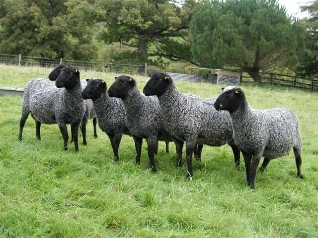 Романовские овцы на пастбище