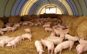 Скороспелость свиней