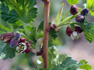 Цветение куста смородины