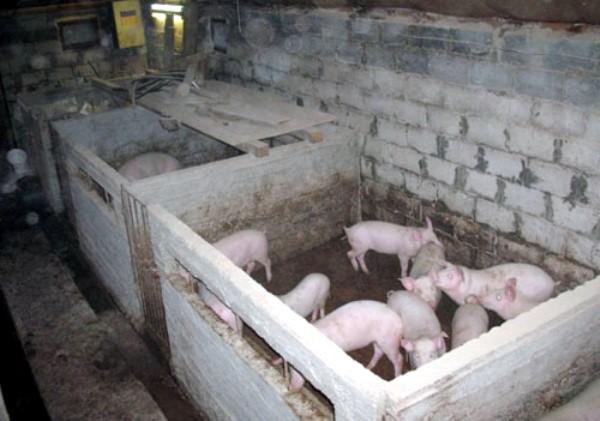Как сделать для свиньи сарай 110