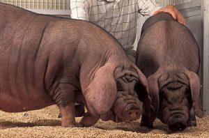 Две большие свиньи