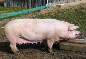 Племена свинья у корыта