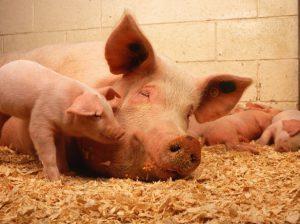 Свинья с поросятами выдпочивалы в загоны