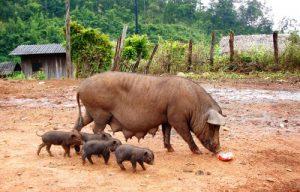 Свиноматка с поросятами на выгуле