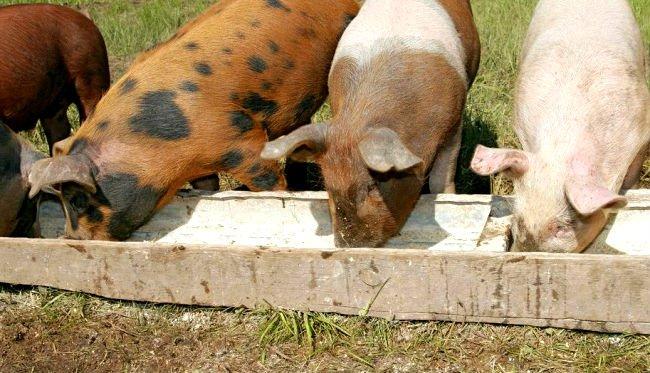 Кормление свиноматки в домашних условиях
