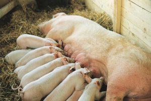 Свиноматка йоркшир