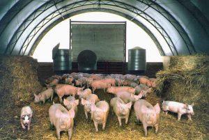 Домашнее свиноводство
