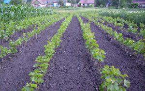 Школка винограда