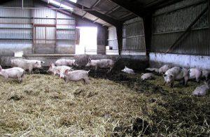 Канадская технология выращивания свиннней