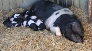 Свиноматка спит с поросятами