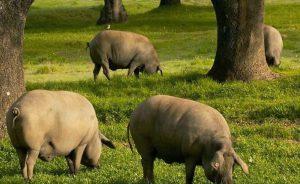 Стадо свиней пасутся