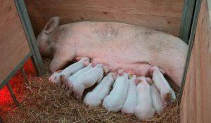 Размножения свиньи