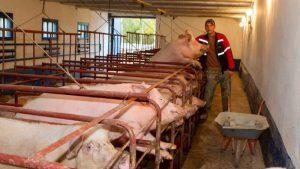 Фермерское хозяйство разведения свиней