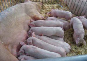 Поросята со свиноматкой