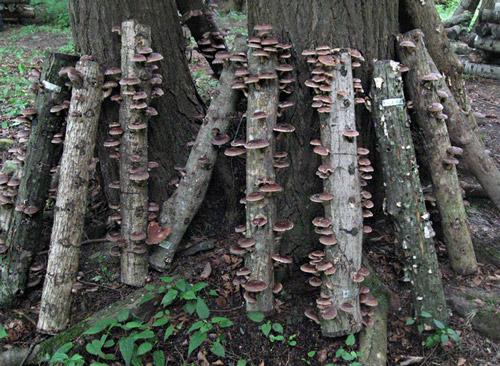 Выращивание грибов шиитаке на бревнах 65