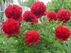 Красные пионы цветут