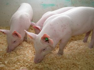 Свиньи на торфяных подстилке