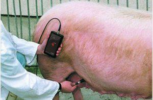 Определить беременность у свиней