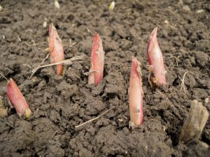 Посадка пионов весной