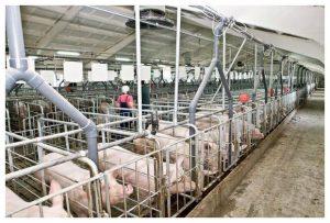 Репродукция свиней