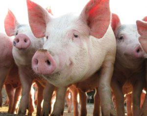 Методы разведения свиней