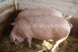 Пара белых свиней