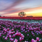 Тюльпаны весной: особенности посадки и ухода