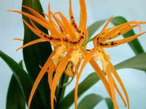 Цветущая орхидея брассия