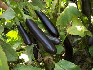 Выращивания баклажанов