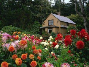 Георгины в саду