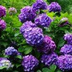 Гортензия в саду: особенности разведения и ухода