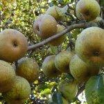 Прививка деревьев: особенности подготовки и необходимый инвентарь. Часть II