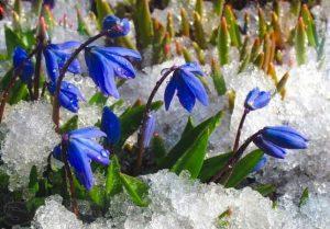 Пролески - луковичные первоцветы