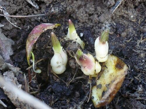 Когда сажать проросшие луковицы лилий 300