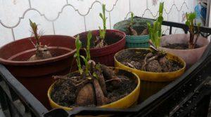 Выкопанные корни георгинов в горшках