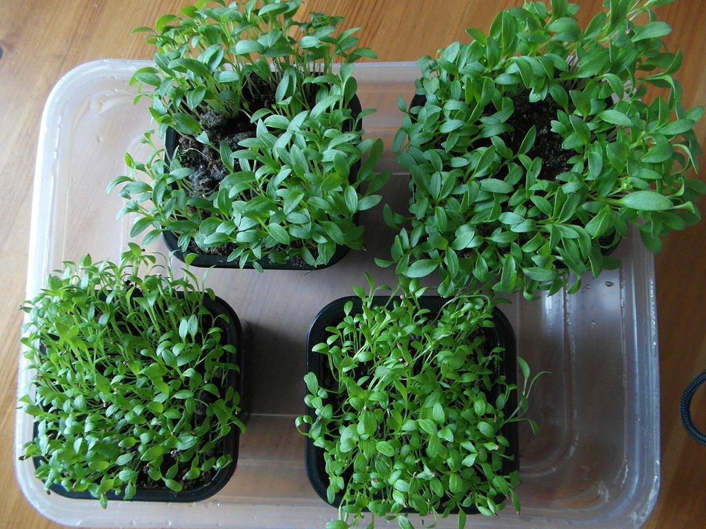 Выращивание кинзы на балконе 1