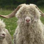 Ангорская коза: перспективы и особенности разведения