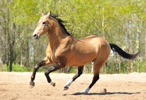 Ахалтекинская лошадь - отличный скакун
