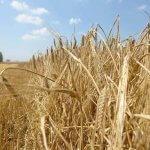 В Ростовской области принимаются меры по борьбе с карантинными сорными растениями