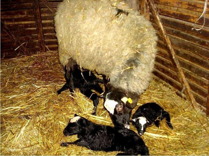 Как разводят овец в домашних условиях