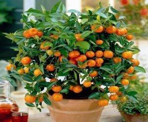 Карликовый мандарин