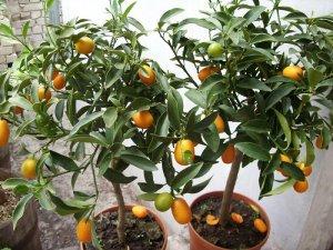 Удобрение комнатного мандарина