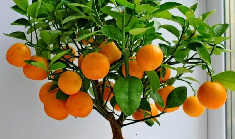 Мандарин: особенности выращивания и ухода в домашних условиях