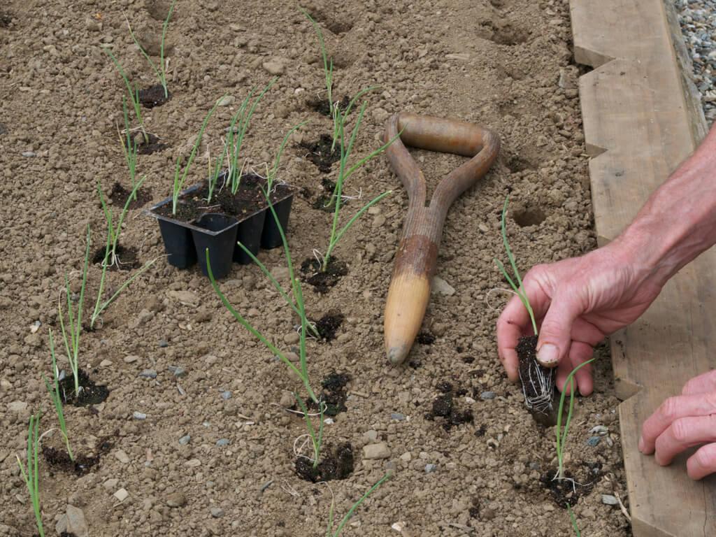 Когда садить лук порей на рассаду 3