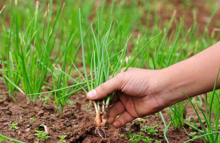 Выращивание лука в северных регионах 36
