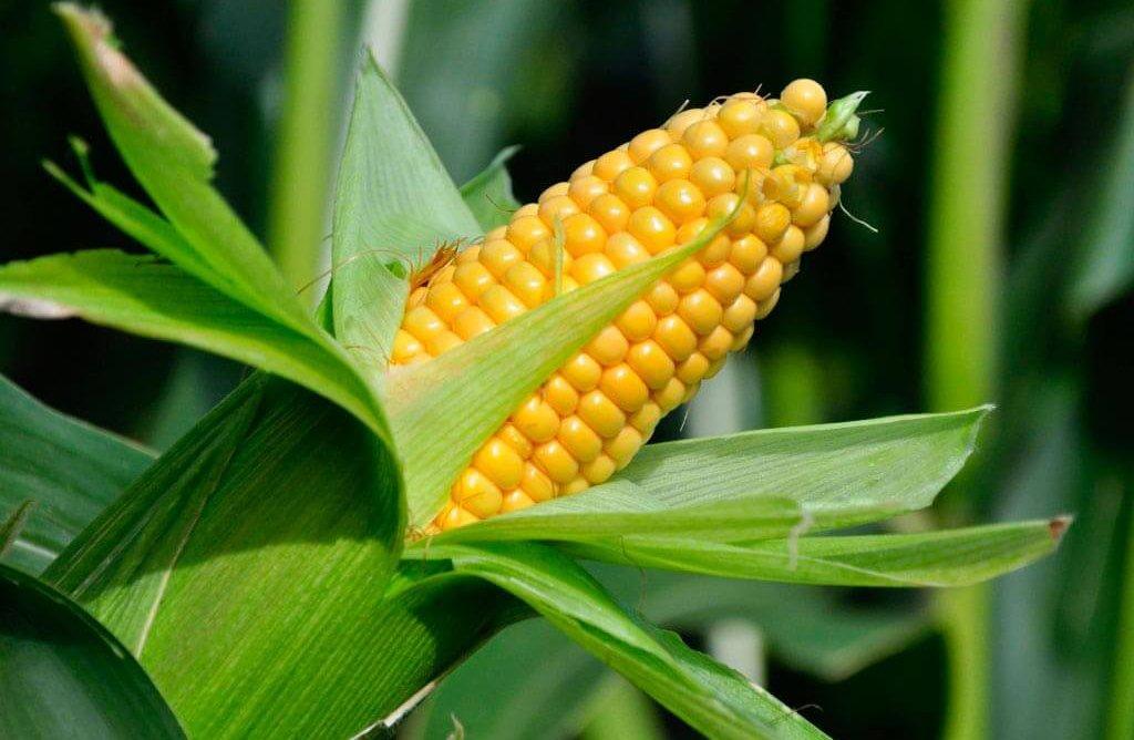 Кукуруза лучшие сорта: посадка и уход