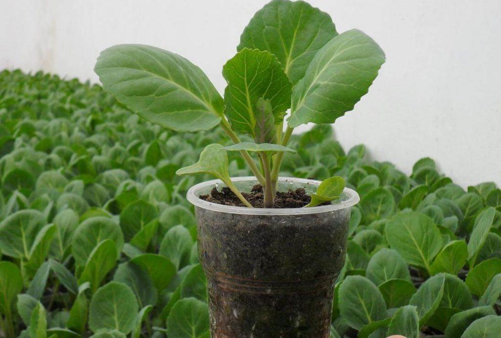 Выращивание капуста для семян 824