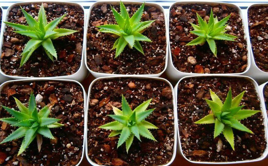 Как выращивать алоэ древовидное в домашних условиях?